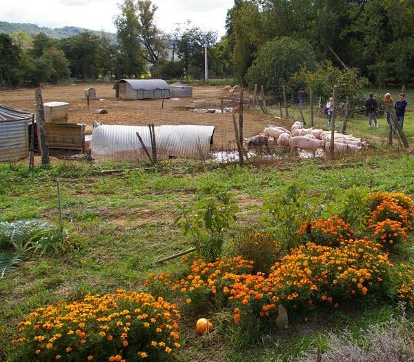 elevage de porc en plein air Drôme des Collines